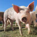 Image of a close up pig